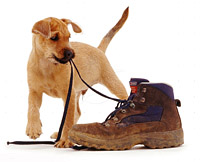 puppy playing with shoes - dog training in london